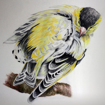 Life study drawing using coloured pencils by Jacqueline Todd Artist